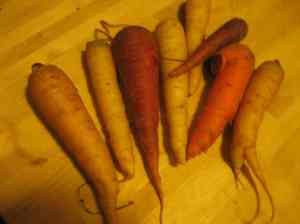 these carrots from Ornery Farmer John Gorzynski span the spectrum of carrot coloration.